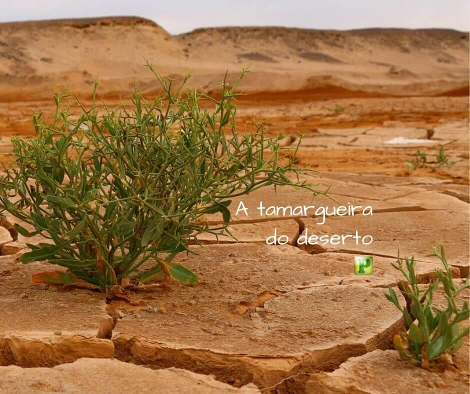 A tamargueira do deserto –  Jeremias  48:6