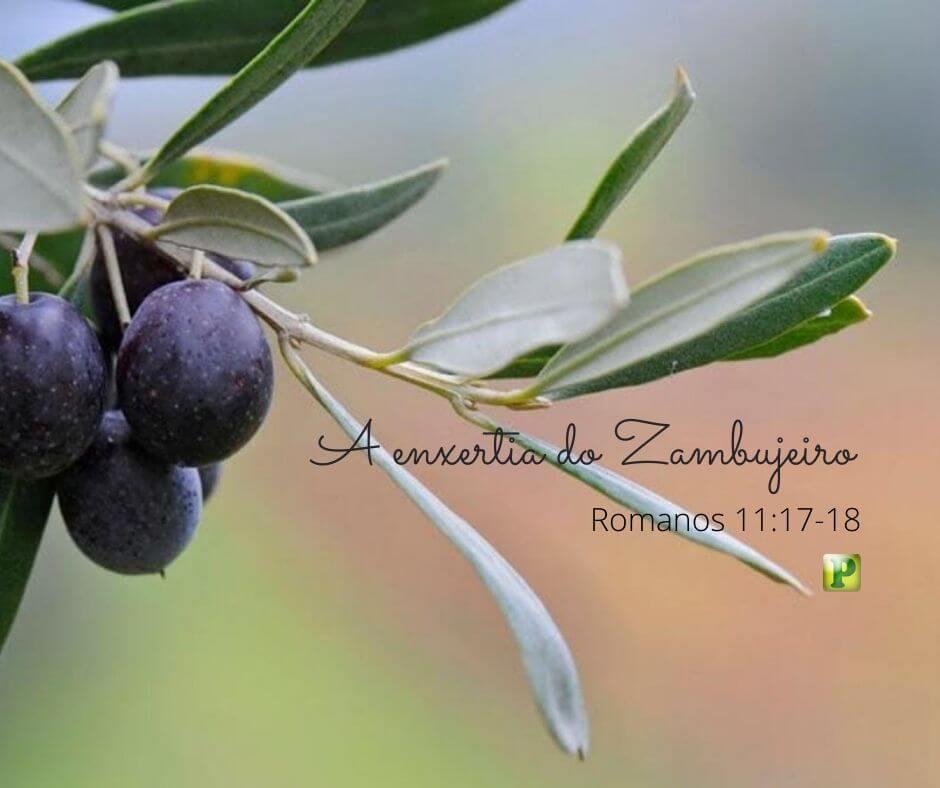 A enxertia do Zambujeiro – Romanos 11:17-18